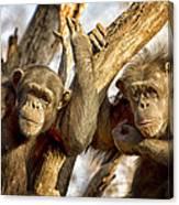 Western Lowland Gorillas Canvas Print