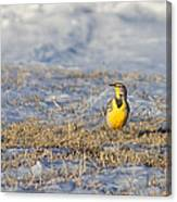 Western Meadowlark Canvas Print