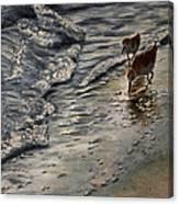 Western Sandpiper Canvas Print