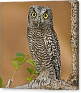 Western Screech Owl Juvenile Utah Canvas Print
