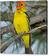 Western Tanager Singing Canvas Print