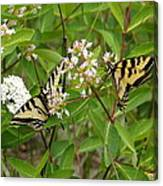 Western Tiger Swallowtail Butterflies Canvas Print