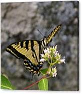 Western Tiger Swallowtail Butterfly 2 Canvas Print