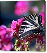 Western Tiger Swallowtail Butterfly On Geranium Canvas Print