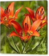 Western Wood Lily Canvas Print