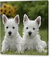Westie Puppies Canvas Print