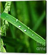 Wet Grasses Canvas Print