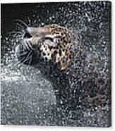 Wet Jaguar  Canvas Print