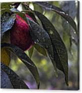 Wet Peach Canvas Print