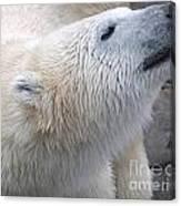 Wet Polar Bear Close-up Portrait Canvas Print