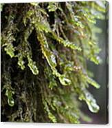 Wet Redwood Branches Canvas Print