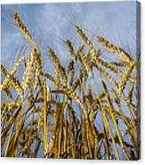 Wheat Standing Tall Canvas Print