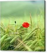 Wheatfield Poppy Canvas Print