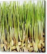 Wheatgrass Seedling Canvas Print
