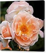 Wheeping Rose Canvas Print