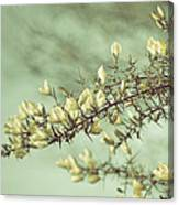 When Gorse Flowers Sing Their Melody Canvas Print