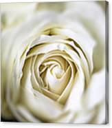 Whie Rose Softly Canvas Print