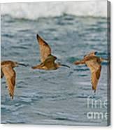 Whimbrel Trio In Flight Canvas Print
