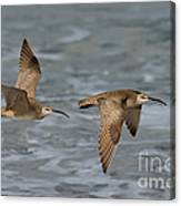 Whimbrels Flying Above Beach Canvas Print