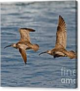Whimbrels Flying Close Canvas Print
