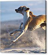 Whippet Dogs Fighting Canvas Print