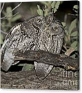 Whiskered Screech Owls Canvas Print