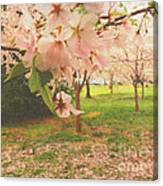 Whispering Cherry Blossoms Canvas Print