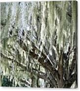 Whispering Oaks Canvas Print