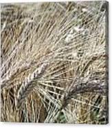 Whispering Wheat Canvas Print