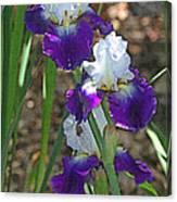 White And Blue Iris Stalks At Boyce Thompson Arboretum Canvas Print