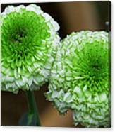 White And Green Mum Flowers Canvas Print