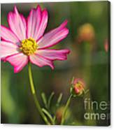 White And Magenta Cosmos Canvas Print