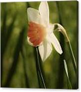 White And Orange Daffodil Canvas Print