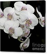 White And Pale Pink Phalaenopsis   9920 Canvas Print