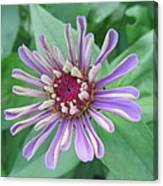 White And Purple Spiky Petals Canvas Print