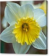 White And Yellow Daffodil Canvas Print