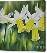 White And Yellow Daffodils Canvas Print