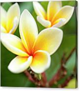 White And Yellow Plumeria Flowers Canvas Print