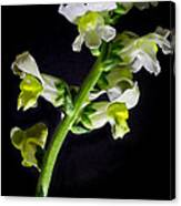 White And Yellow Snapdragons Canvas Print