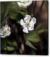 White Anemone Flowers Canvas Print