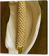 White Anthurium Flower Canvas Print