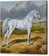 White Arabian Stallion Canvas Print