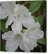 White Azalea 14-1 Canvas Print