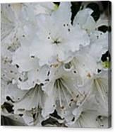 White Azaleas In Bermuda Canvas Print