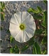 White Beach Flower Canvas Print