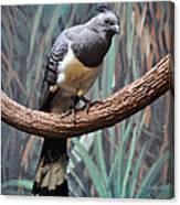 White-bellied Go-away-bird Canvas Print