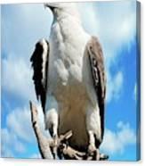 White-bellied Sea Eagle Canvas Print