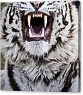 White Bengal Tiger At Forestry Farm Canvas Print