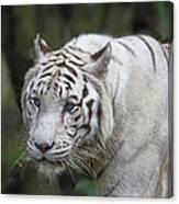 White Bengal Tiger Canvas Print