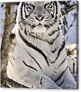 White Bengal Tiger, Forestry Farm Canvas Print